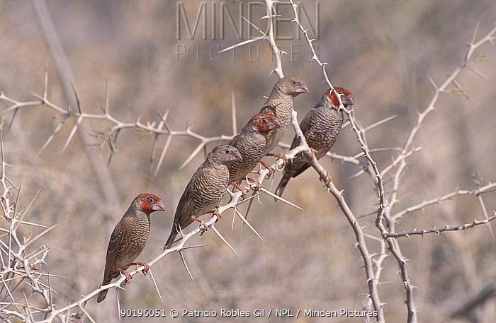 Paradise sparrows, Red headed finches (Amadina erythrocephala) Namibia  -  Patricio Robles Gil/ npl