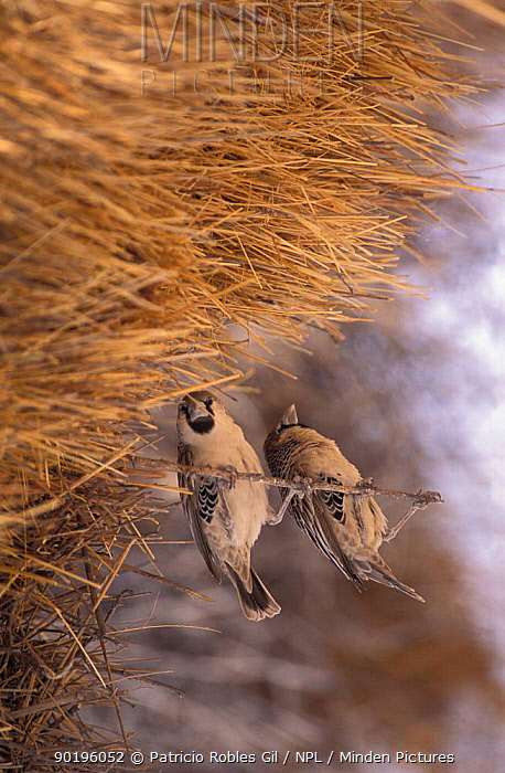 Social weaver pair at nest (Philetairus socius) Namibia  -  Patricio Robles Gil/ npl