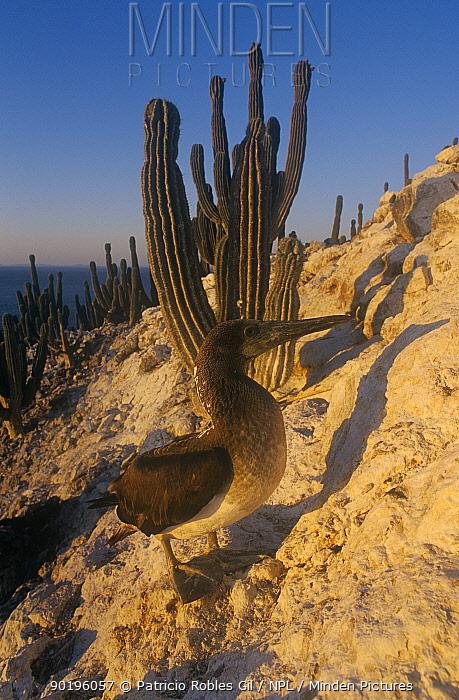 Young Brown booby (Sula leucogaster) San Pedro Martir Is, Gulf of California, Mexico  -  Patricio Robles Gil/ npl
