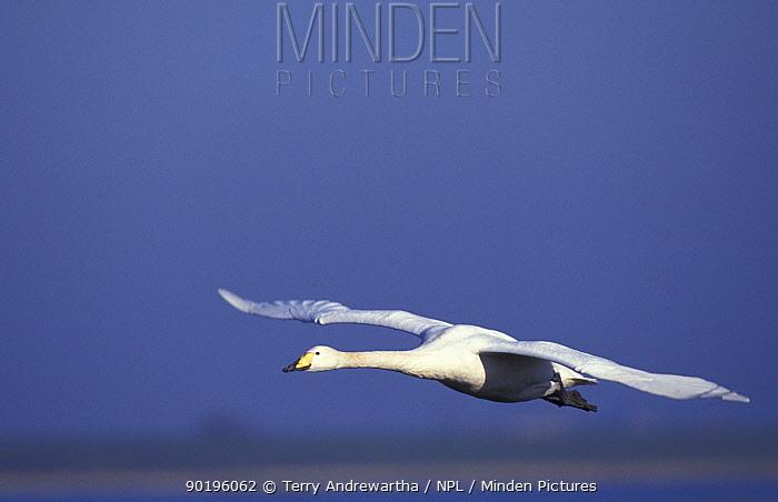 Whooper swan flying (Cygnus cygnus) Welney, Norfolk, UK  -  Terry Andrewartha/ npl