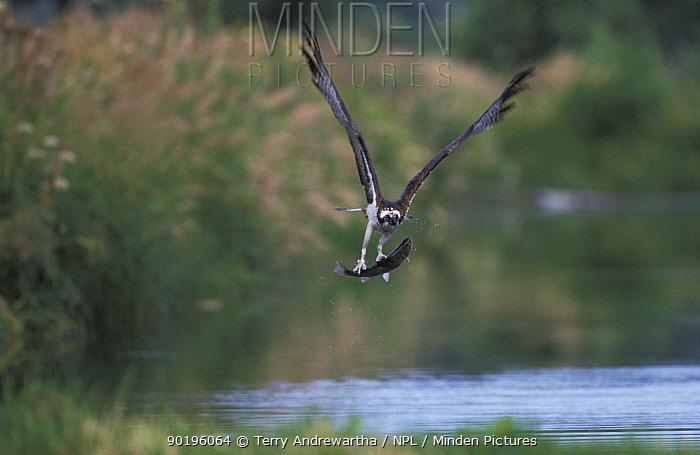 Osprey carrying fish (Pandion haliaetus) UK  -  Terry Andrewartha/ npl