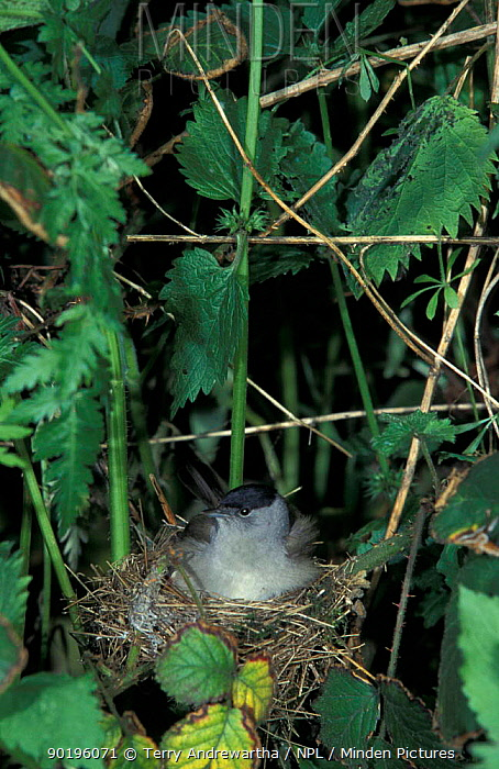 Blackcap male sitting on nest (Sylvia atricapilla) UK  -  Terry Andrewartha/ npl
