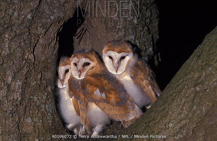 Three Barn owl fledglings (Tyto alba) UK  -  Terry Andrewartha/ npl