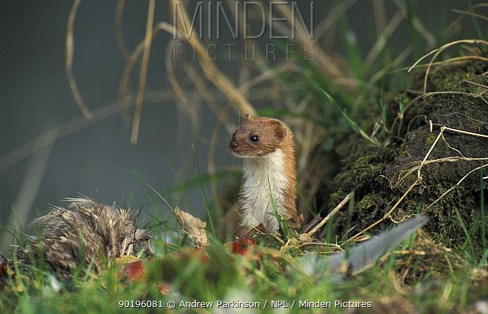 Weasel (Mustela nivalis) with road kill pheasant Derbyshire, UK Whatstandwell  -  Andrew Parkinson/ npl