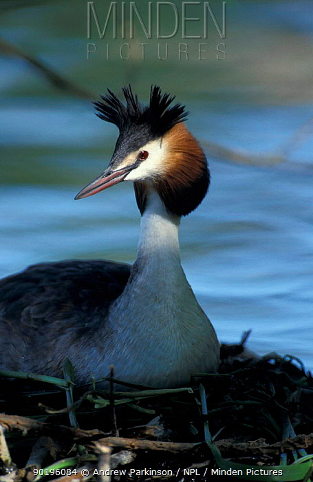 Great crested grebe on nest (Podiceps cristatus) Derbyshire, UK  -  Andrew Parkinson/ npl