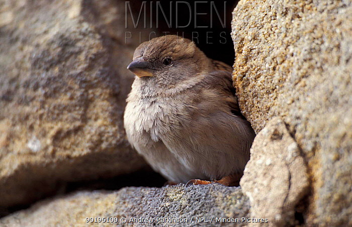Common sparrow female at nest hole in wall (Passer domesticus) Derbyshire, UK  -  Andrew Parkinson/ npl
