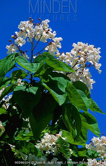 Catalpa flowers on tree (Catalpa bignonoides) Spain  -  Jose B. Ruiz/ npl