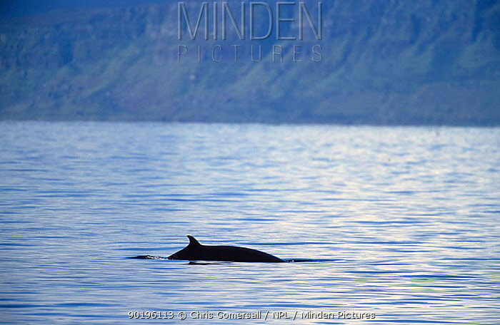 Minke whale at surface (Balaenoptera acutorostrata) West Scotland, UK  -  Chris Gomersall/ npl