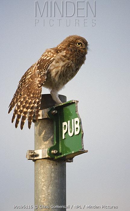 Little owl juvenile on broken signpost (Athene noctua) UK  -  Chris Gomersall/ npl
