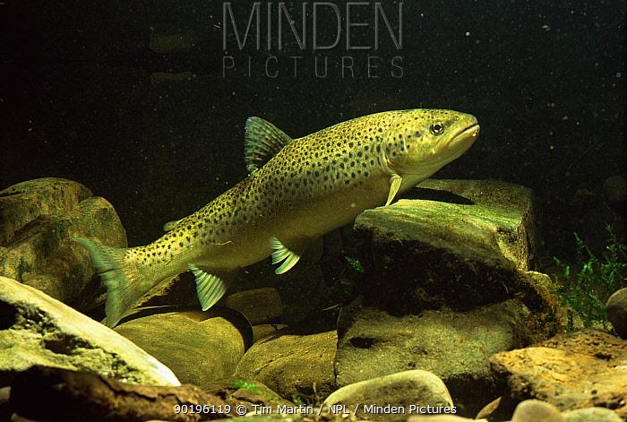 Sea trout (Salmo trutta), South Wales  -  Tim Martin/ npl