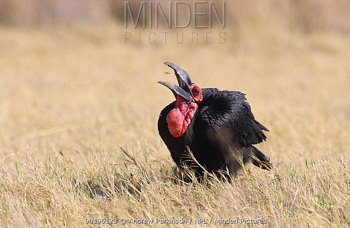 Ground hornbill (Bucorvus leadbeateri) catching and eating grasshopper Moremi GR Botswana  -  Andrew Parkinson/ npl