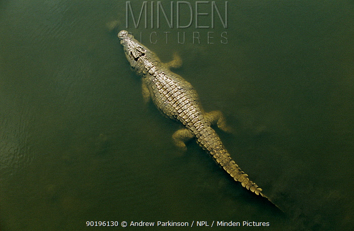 Nile crocodile from above (Crocodylus niloticus) Kruger National Park, South Africa  -  Andrew Parkinson/ npl