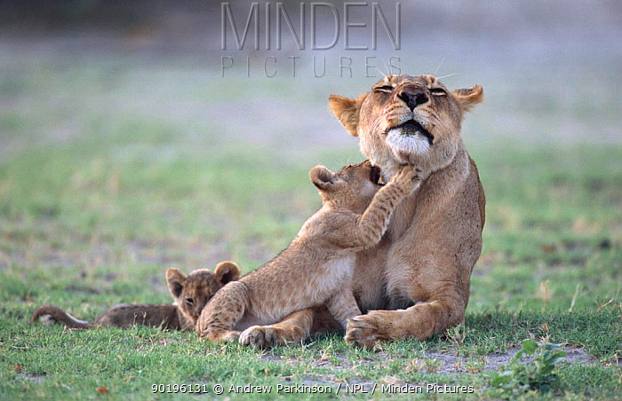 African lioness with two cubs seeking attention (Panthera leo) Chobe NP, Botswana  -  Andrew Parkinson/ npl