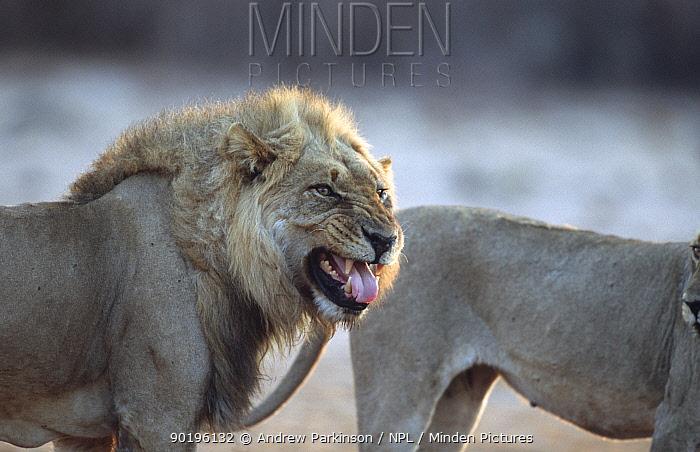 Male African lion scenting female, flehmen behaviour (Panthera leo) Moremi Botswana  -  Andrew Parkinson/ npl