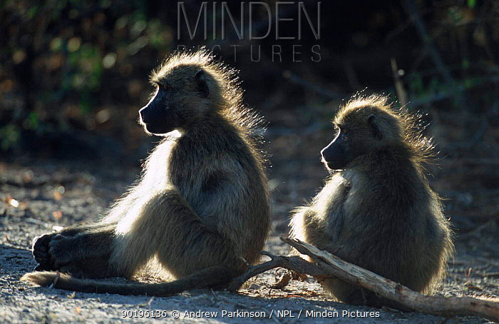 Two Chacma baboons warming in dawn sunlight (Papio ursinus) Chobe NP, Botswana  -  Andrew Parkinson/ npl