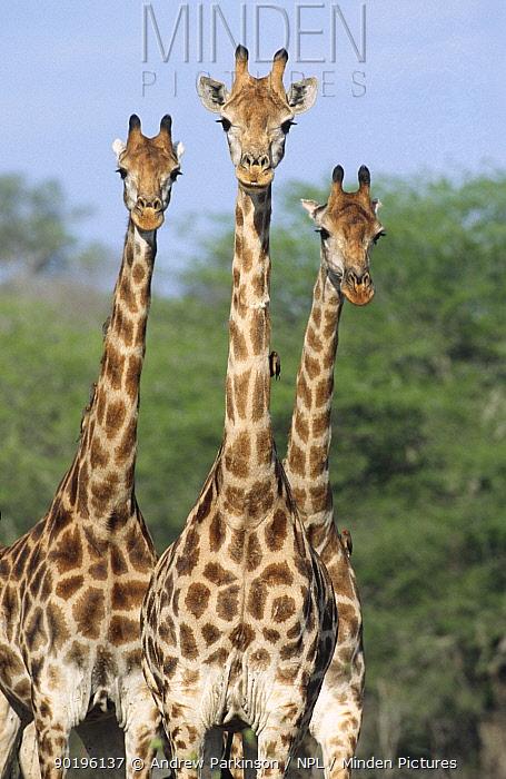 Three Giraffe (Giraffa camelopardalis) Kruger NP, South Africa  -  Andrew Parkinson/ npl