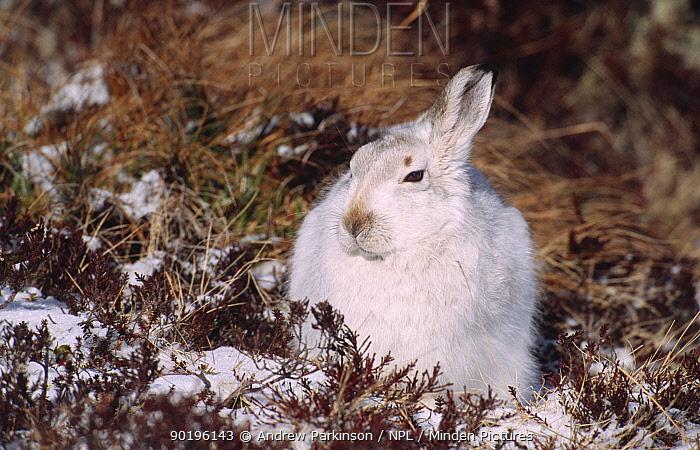 Mountain hare in winter coat (Lepus timidus) Scotland  -  Andrew Parkinson/ npl