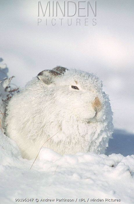 Mountain hare in winter coat huddles behind bank of snow (Lepus timidus) Scotland, UK  -  Andrew Parkinson/ npl