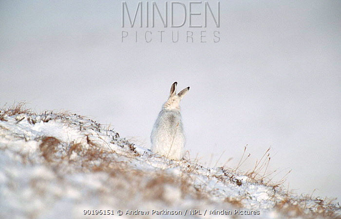Rear view of Mountain hare in winter coat in snow sitting (Lepus timidus) Scotland, UK  -  Andrew Parkinson/ npl