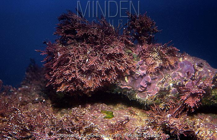 Coralline algae (Corallina elongata) Mediterranean  -  Jose B. Ruiz/ npl