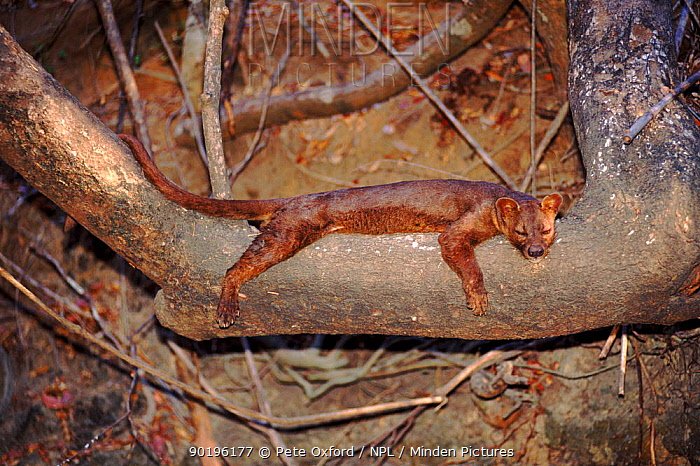 Fossa male resting in tree, Kirindy forest, Madagascar  -  Pete Oxford/ npl
