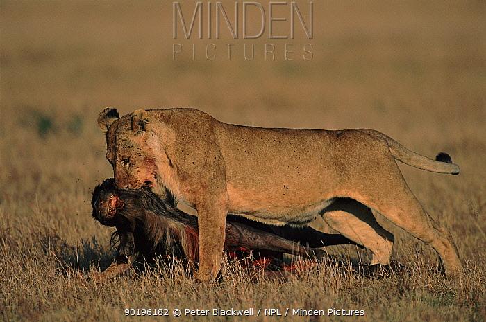 Lioness dragging Wildebeest kill (Connochaetes taurinus), Masai Mara, Kenya  -  Peter Blackwell/ npl