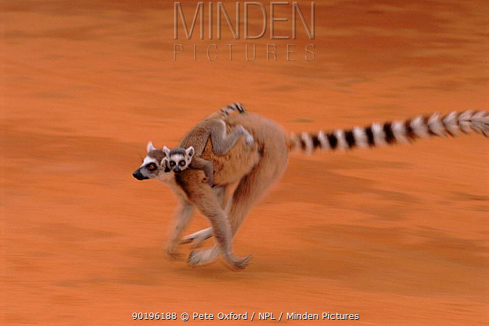 Ring-tailed lemur carrying young, Berenty Reserve, Madagascar  -  Pete Oxford/ npl