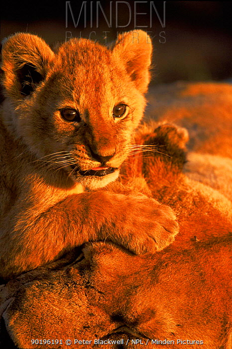 Lion cub plays on mother's head, Masai Mara NR, Kenya  -  Peter Blackwell/ npl