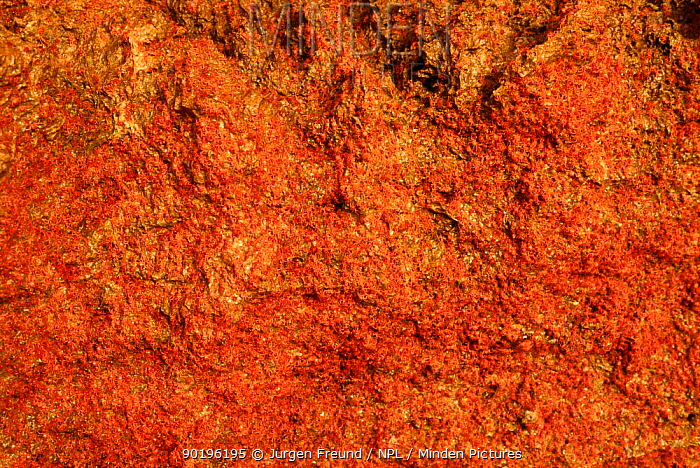 Millions of Red Island crab larvae on shore, Christmas Island, Australia  -  Jurgen Freund/ npl