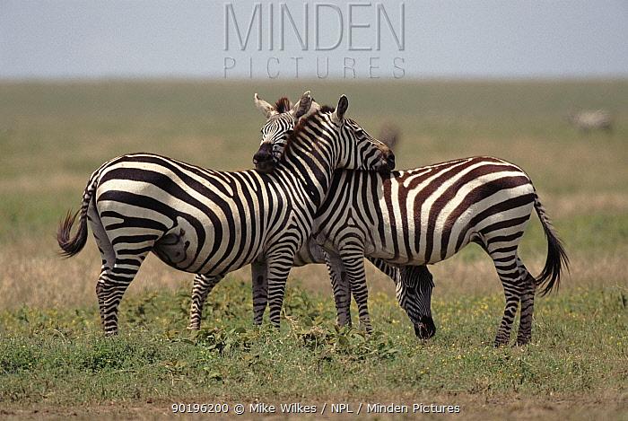 Common zebra mutual grooming, Serengeti, Tanzania, Africa  -  Mike Wilkes/ npl