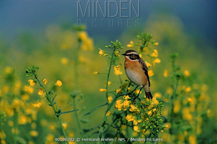 Whinchat male perched in bush with yellow flowers, Germany  -  Torsten Brehm/ npl