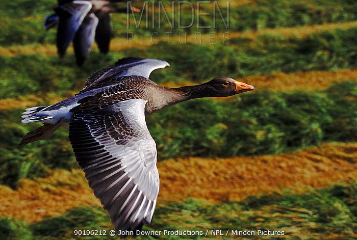 Greylag geese flying close-up, Isle of Lewis, Hebrides Scotland  -  John Downer/ npl