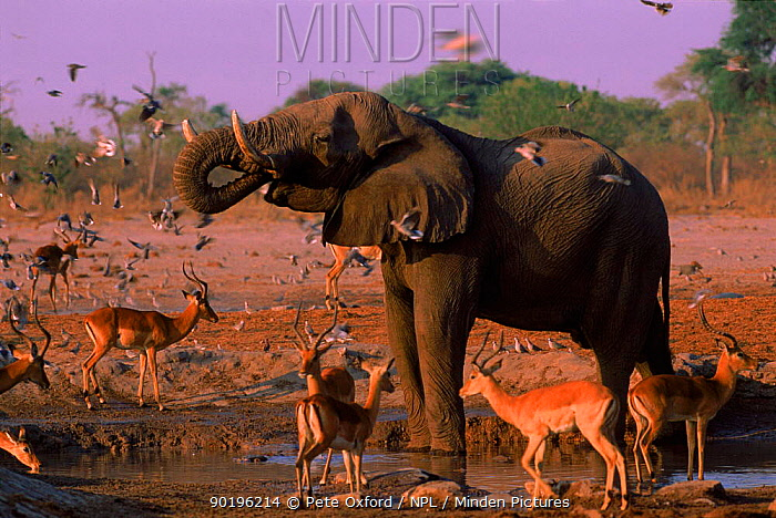 African elephant (Loxodonta africana) drinking at waterhole Chobe NP, Botswana, Southern Africa  -  Pete Oxford/ npl