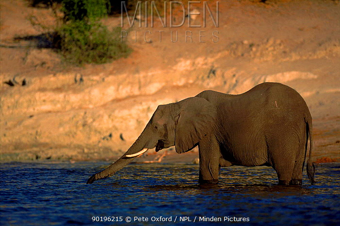 African elephant (Loxodonta africana) standing in water and drinking, Chobe NP, Botswana, Southern Africa  -  Pete Oxford/ npl