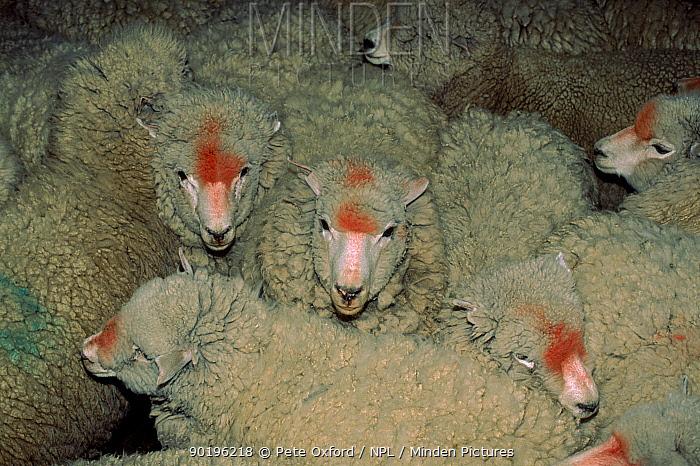 Domestic sheep (Ovis aries) El Calafate, Patagonia, Argentina, South America  -  Pete Oxford/ npl