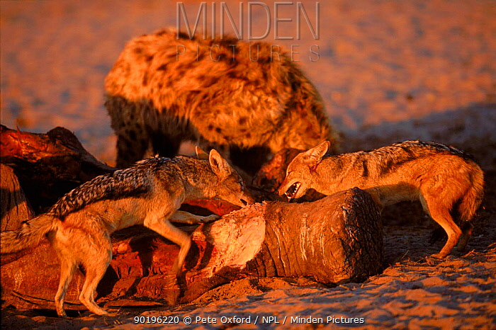 Black backed jackals (Canis mesomelas) scavenging off elephant carcass Chobe NP, Botswana, Southern Africa  -  Pete Oxford/ npl