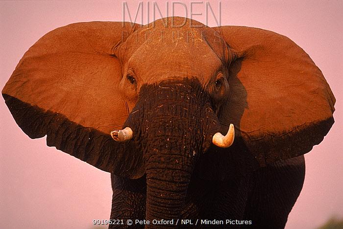 African elephant (Loxodonta africana) displaying ears Okavango Delta, Botswana, Southern Africa  -  Pete Oxford/ npl