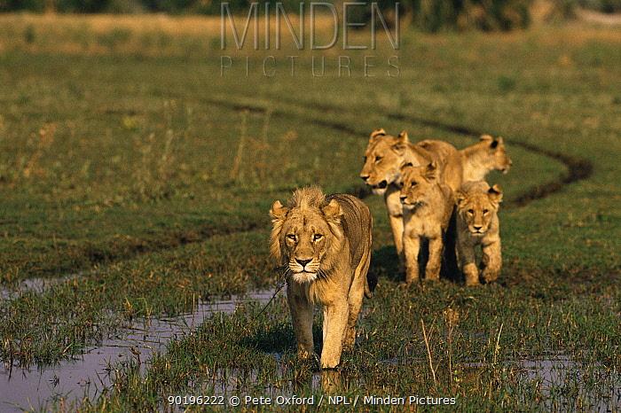 Lion pride (Panthera leo) walking in wetlands (note maned female) Okavango Delta, Botswana, Southern Africa  -  Pete Oxford/ npl