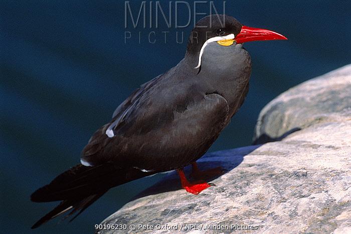 Inca tern, Iquique, Chile, South America  -  Pete Oxford/ npl