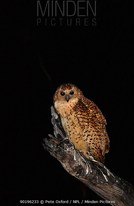 Pel's fishing owl at night, Okavango Delta, Botswana, Africa  -  Pete Oxford/ npl