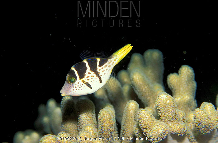 Sharpnose pufferfish swimming over coral (Canthigaster sp) Philippines  -  Jurgen Freund/ npl