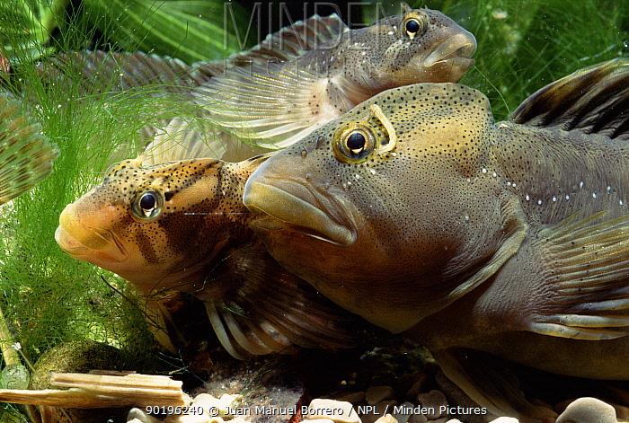 Freshwater blenny (Salaria fluviatilis) Spain  -  Juan Manuel Borrero/ npl