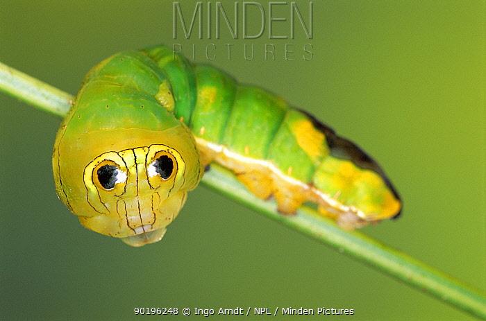 Silkmoth caterpillar with eye spots to mimic snake (Oxytenis modestia) Guanacaste, Costa Rica, Central America  -  Ingo Arndt/ npl