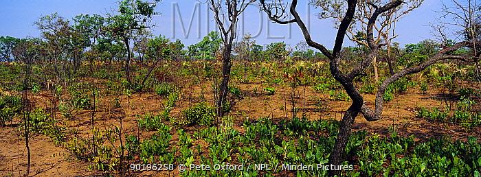 Typical Cerrado habitat recovering after seasonal manmade fires, NE Brazil Piaui State, South America  -  Pete Oxford/ npl