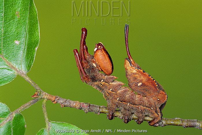 Cryptic Lobster moth caterpillar mimics ant (Stauropus fagi) Germany  -  Ingo Arndt/ npl