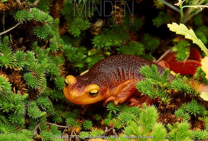 Sierra newt (Taricha torosa) Yosemite NP, California USA, North America  -  David Welling/ npl