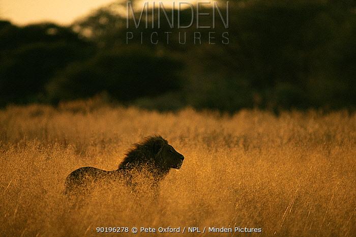 Male Lion in long grass, Okavango Delta, Botswana  -  Pete Oxford/ npl