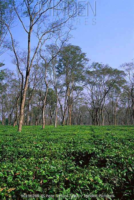 Tea plantation, tall trees planted to provide shade cover for tea crop below, Kaziranga NP, Assam, North East India  -  Pete Oxford/ npl