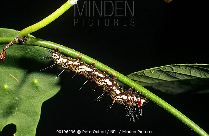 Caterpillar of Flambeau butterfly (Dryas julia) Amazon, Ecuador  -  Pete Oxford/ npl