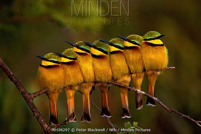 Seven Little Bee-eaters (Merops pusillus) in a row, one facing away, Masai Mara, Kenya  -  Peter Blackwell/ npl